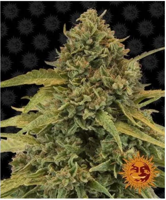 Here'sAQuick Guide To Cannabis Production By Royal Queen Seeds!