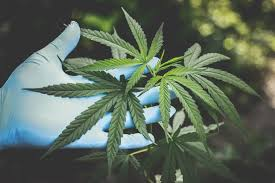 Get every little thing before you purchase cannabis